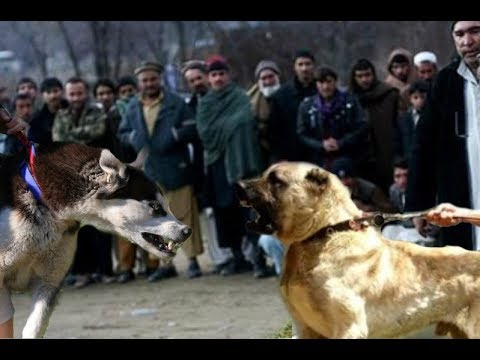 Kangal attacks a Husky!!!