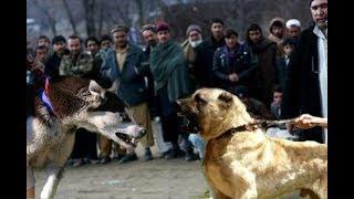 Kangal attacks a Husky!!!