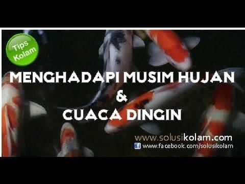 Tips Kolam ikan Koi : menghadapi musim hujan Mp3