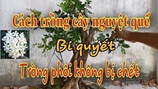 Cách trồng cây nguyệt quế, cách trồng phôi nguyệt quế không sợ chết