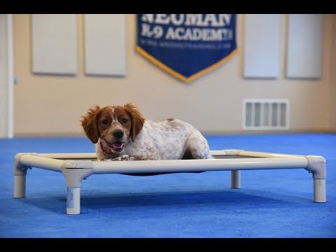 Riley (French Brittany Spaniel) Boot Camp Dog Training Demonstration