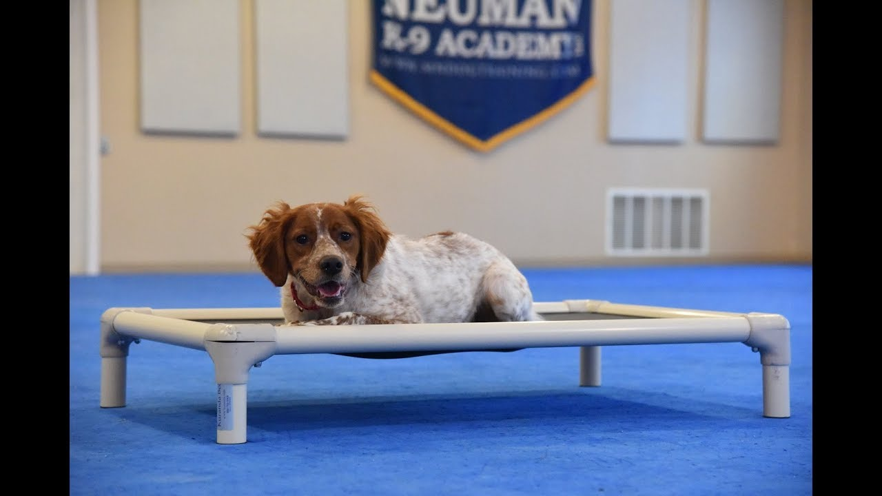 Riley French Brittany Spaniel Boot Camp Dog Training