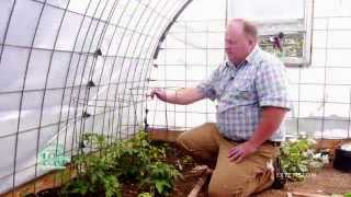 Growing Tomatoes on a Budget: Recycling rotten tomatoes and building tomato cages yourself