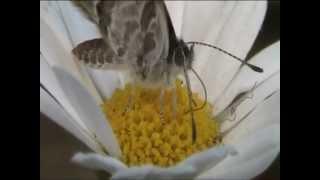 Piccola Farfalla che succhia il nettare di una margherita - Little feeding Butterfly