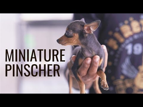 Cute Miniature Pinscher Facts And Features!