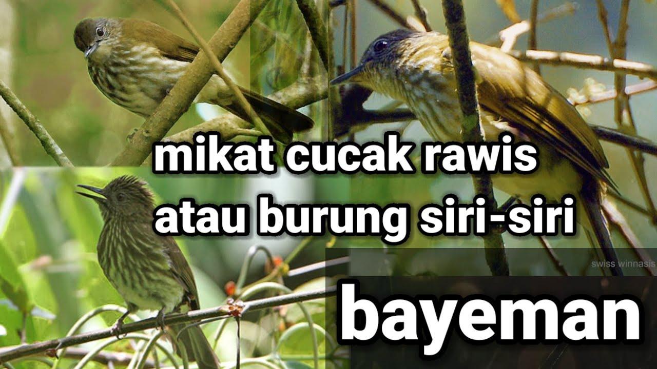 Mikat Cucak Rawis Burung Siri Siri Bayeman Rangga Channel Dor Youtube