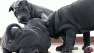 The Shar Pei, Or Chinese Shar-pei :funny Animals