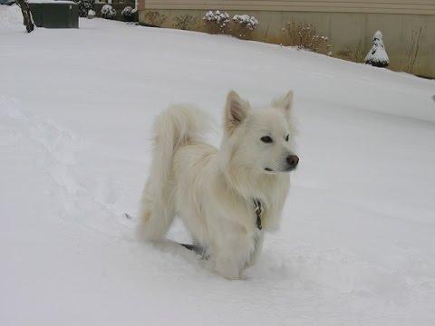 ***American Eskimo Puppy Potty-Training Free-Mini Course***