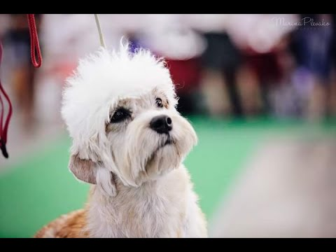 Dandie Dinmont terrier breed review by Marja Talvitie