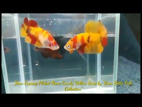 Berkunjung Ke Peternak Dan Penjual Ikan Cupang Di Cipondoh Tangerang Youtube