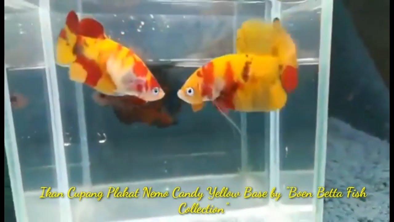 Review Ikan Cupang Nemo Candy Yellow Base Original Thailand Youtube