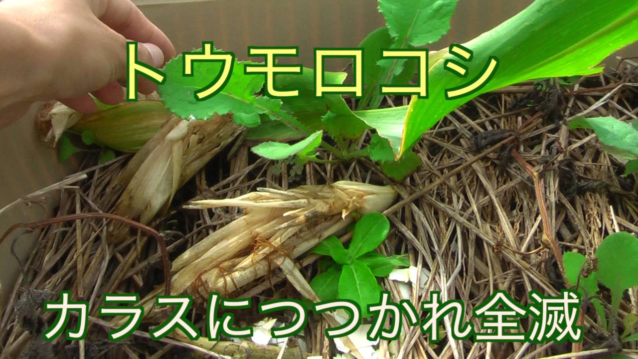 トウモロコシ プランター