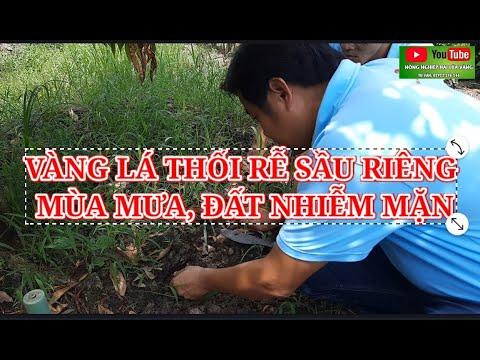 Khắc phục Vàng lá thối rễ Sầu Riêng mùa mưa, sau hạn mặn. PGS.TS Trần Văn Hai