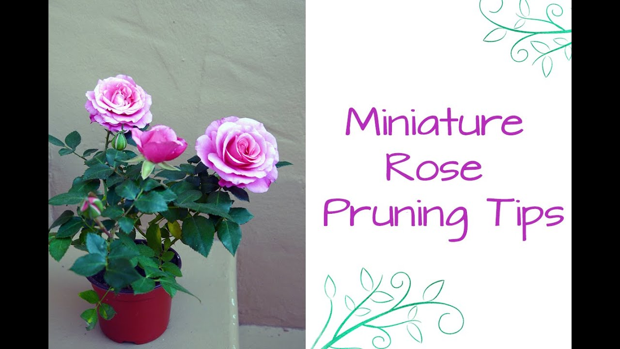 See How Easy It Is To Prune Miniature Roses Youtube
