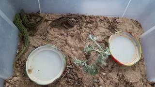 видео Что едят ящерицы в домашних условиях маленькие