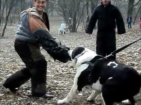 Среднеазиатская овчарка(central asian shepherd dog), Гургун Совские Пруды, работает на площадке.