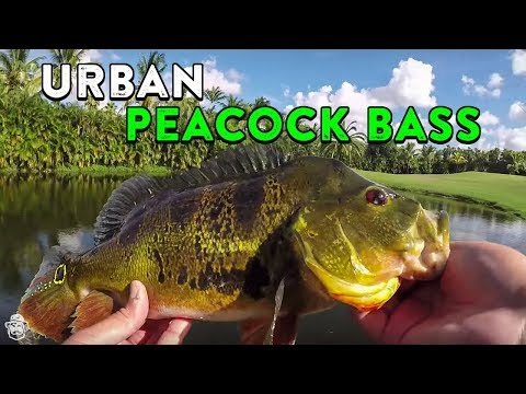 Peacock Bass Fishing In Urban Canals!