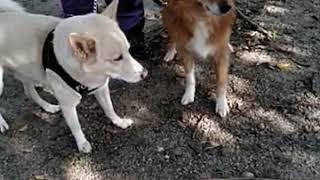 お疲れの二匹、動きません。琉球犬は今年17才、頑張っています!