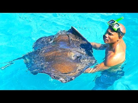 Antigua and Barbuda islands - Stingrays 2017 Caribbean, Antilles. Fish show. Нежный карибский скат.