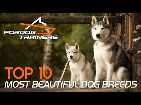 Top 10 Most Beautiful Dog Breeds - ForDogTrainers Top 10 Chart 🐕