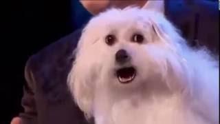 Говорящая собака на шоу Британия имеет таланты