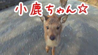 奈良公園 ついてきた小鹿ちゃん☆ nara deer channel thumbnail