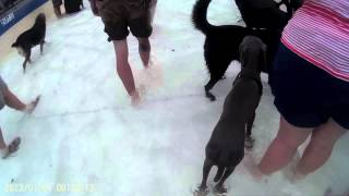 Weimaraner Puppy And Great Dane At A Water Park