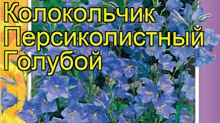 Колокольчик персиколистный Голубой. Краткий обзор, описание характеристик campanula persicifolia