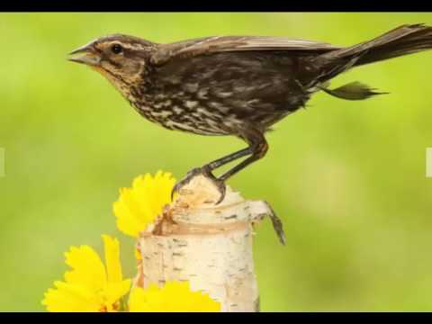 Birdwatchers charter planes to Orkney to spot American blackbird never before seen in the UK