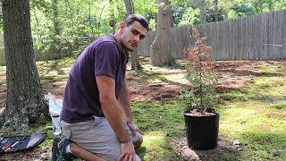 Restyling a Juniper Bonsai Tree