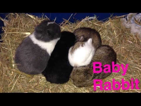Netherland Dwarf Rabbits 1day-8 Weeks