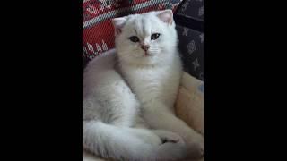 Котёнок Шотландец вислоухий(Шиншилла серебро)