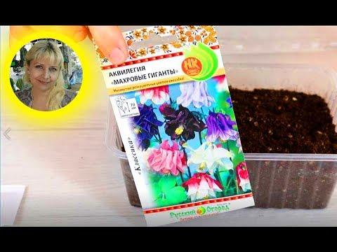 АКВИЛЕГИЯ ( водосбор )  Посев семян на рассаду