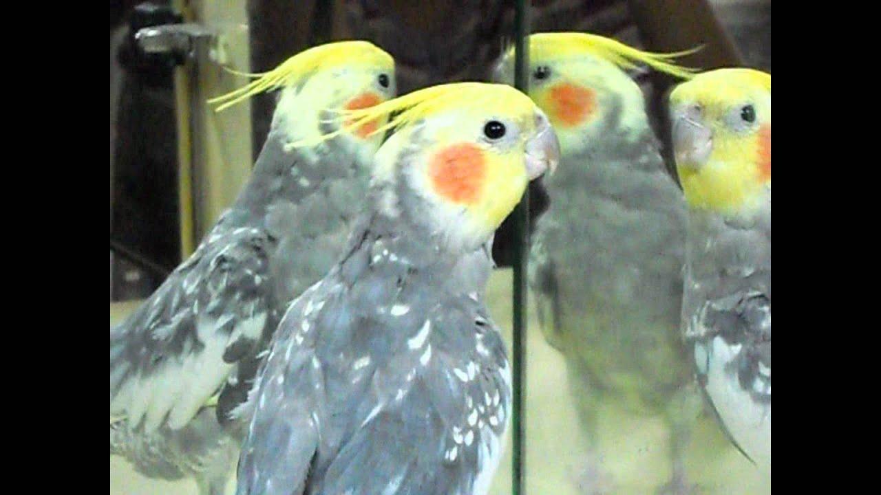 Polly pappagallo calopsite canta fischia robin hood sigla