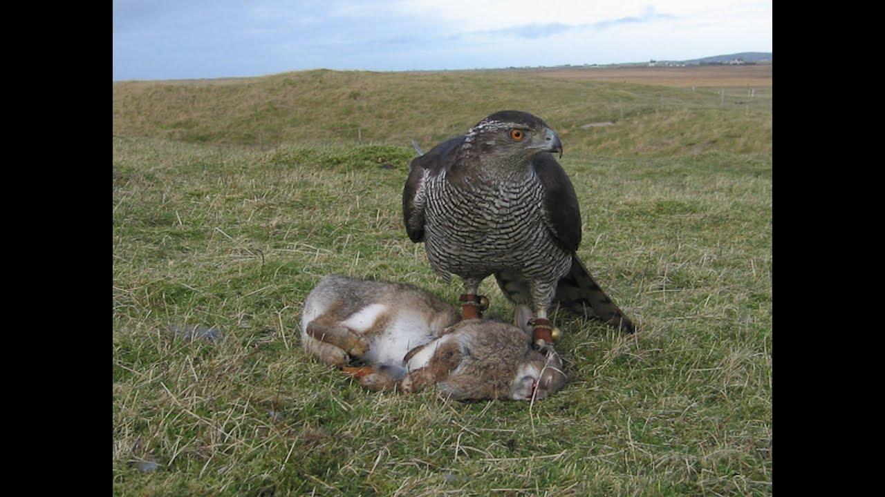 falconry eagle