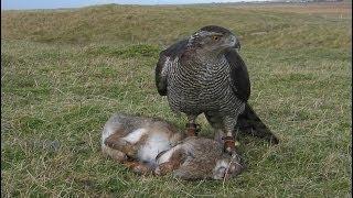 Goshawk chasing Rabbits, Falconry, Mrs Robinson 3