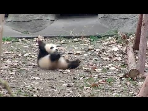 Cute Alert! Angry baby panda: Don't touch my favorite toy!