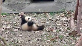 大好きなオモチャを回収されたパンダが激おこ!憂さ晴らしにコロコロ転がる姿が可愛すぎる