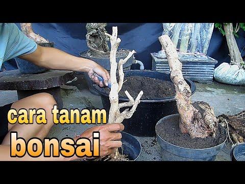 Hogyan neveljünk cseresznyefa bonsai -t