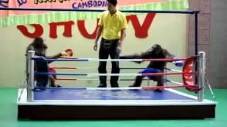 Шоу Бокс Орангутангов!