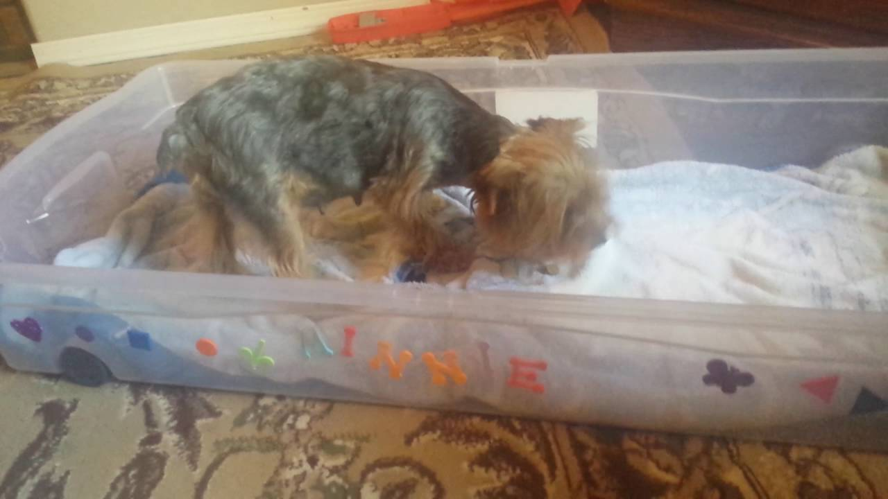 Whelping Box For Yorkie Youtube