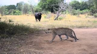 Buffalo vs Leopard