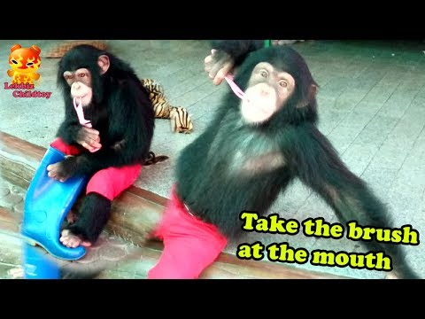 Chimpanzee take the brush in the mouth