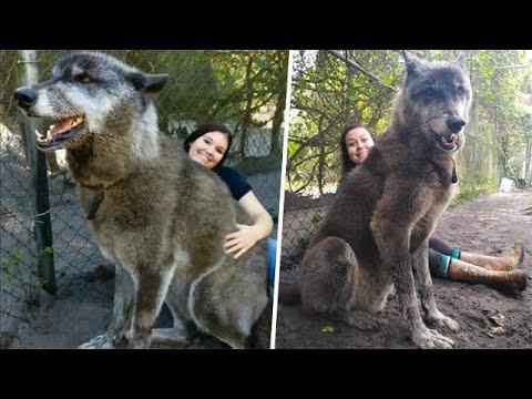 Гигантского волкособа предали и хотели усыпить, но вот что произошло!