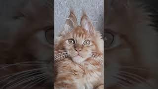 У кошечки ушки как у зайчика!Кошечка мейн кун.