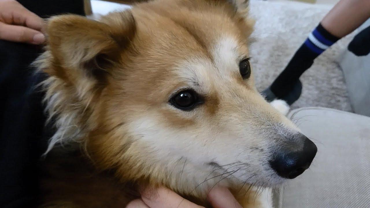 [保護犬だん君]手術の傷の回復も良好!エリザベスカラーも不要!