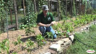 Garden Tutorial: Growing Beets