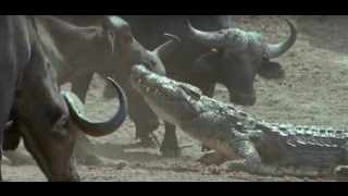 buffalo drags a nile crocodile out of water and escapes its mighty jaws جاموس يفلت من قبضة تمساح