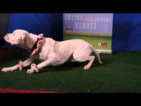 Got Talent? Super talented Bulldog Snuggles skateboards and does tricks