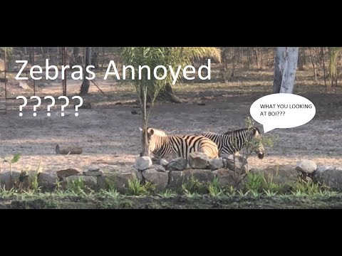 vlog | How to annoy Zebras in zimbabwe ft (wedding)(Reunited)